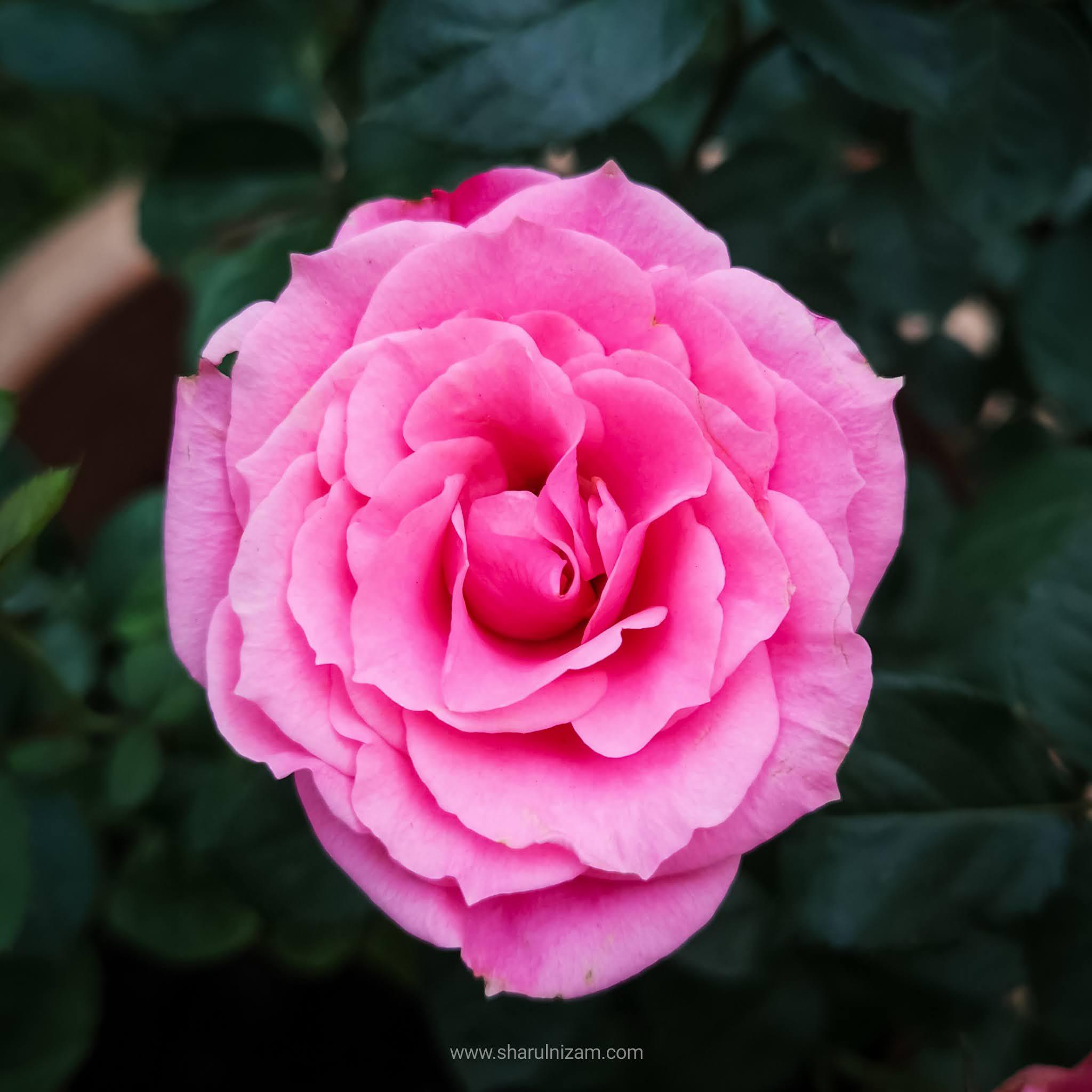 Kuntuman Bunga Mawar Kampung Di Laman Rumah