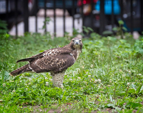 Tompkins Square red-tail fledgling 16