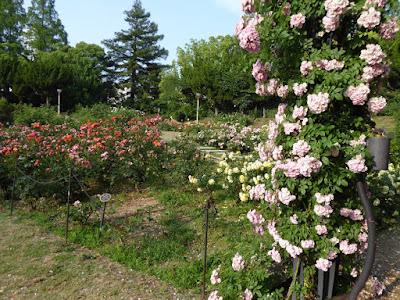 靭公園(うつぼこうえん)のバラ園 Utubo Rose Garden