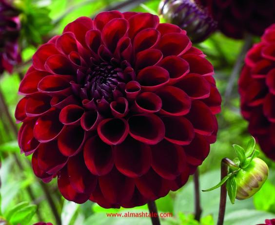 زهرة الداليا الأضاليا