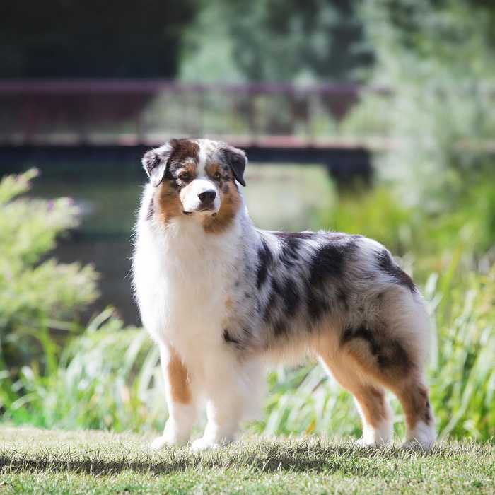 Physical characteristics of the Australian shepherd