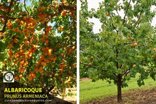 Albaricoque o albaricoquero es un pequeño árbol de 2 a 4 metros de altura con hojas redondeadas, puntiagudas por el ápice