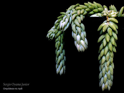 Suculenta Sedum morganianum