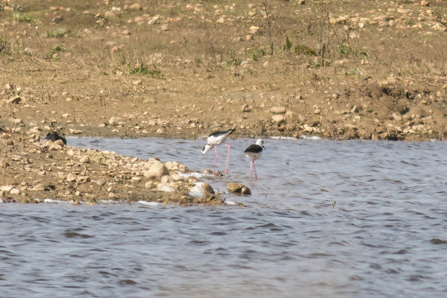 The Black-winged Stilts where the pits get their name