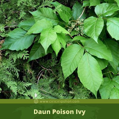 Ciri Ciri Daun Poison Ivy