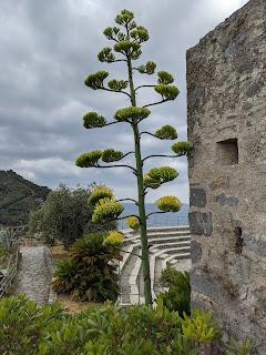 Agave americana - Castello Doria - Porto Venere