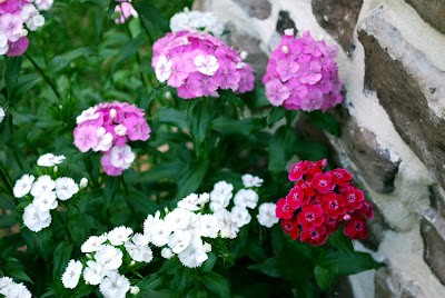 Sweet William flowers hot pink
