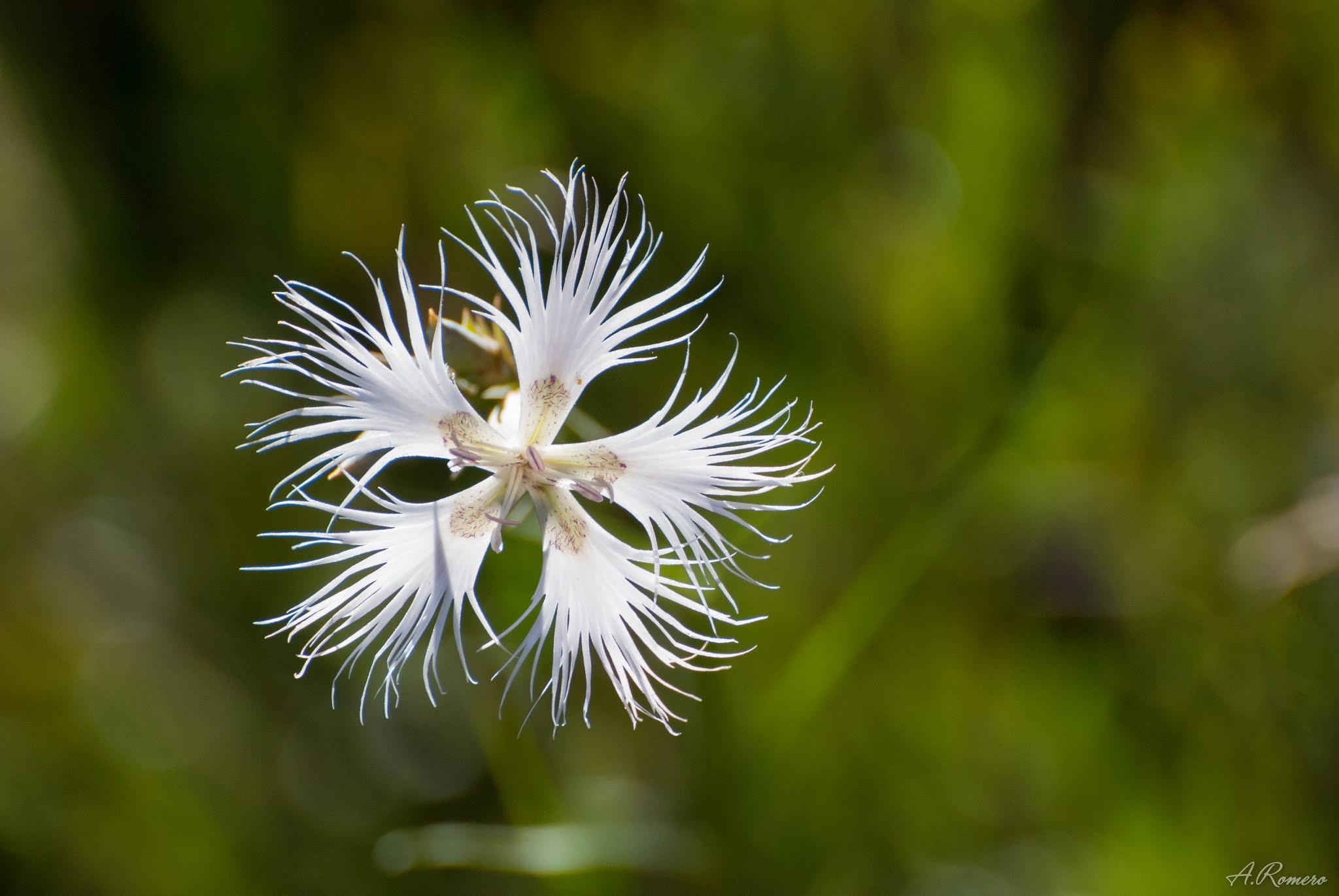 La función principal de la corola es atraer a los polinziadores. La de este Dianthus hyssopifolius subsp. hyssopifolius está compuesta por cinco pétalos laciniados, con una mancha y algunos tricomas violetas en la base. Ejemplar en San Pedro Castañero, León.