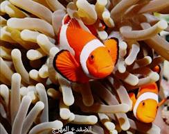 أغرب المخلوقات البحرية ، الضفدع المهرج ، سمكة الضفدع المهرج