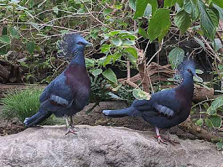 Victoria Crowned Pigeons At The Toronto Zoo.