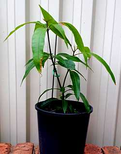 Small Mango Tree