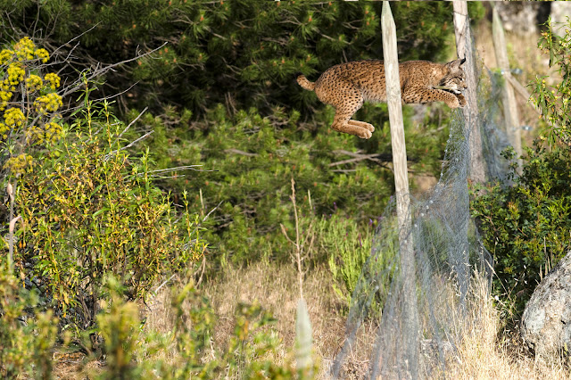 A photographer gets close to one of the world's rarest cats,Iberian Lynx