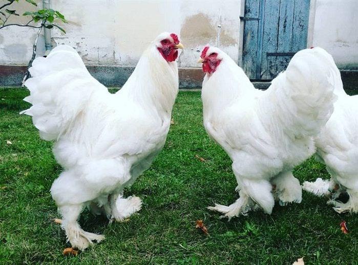 Brahma / Paçalı tavuk ırkları