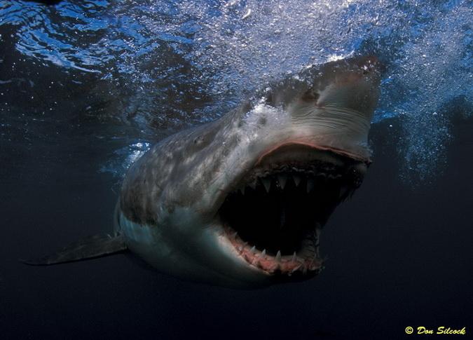 Tiburones en Galicia: Tiburones blancos en Australia