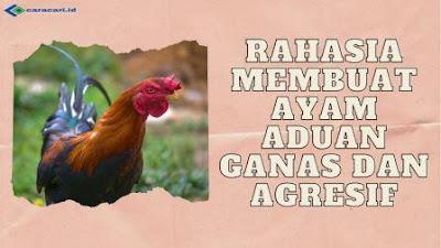 Rahasia Membuat Ayam Aduan Ganas dan Agresif