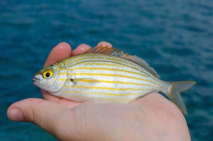 Mengapa Ikan Salema Bisa Menimbulkan Halusinasi? Belajar Sampai Mati, belajarsampaimati.com, hoeda manis