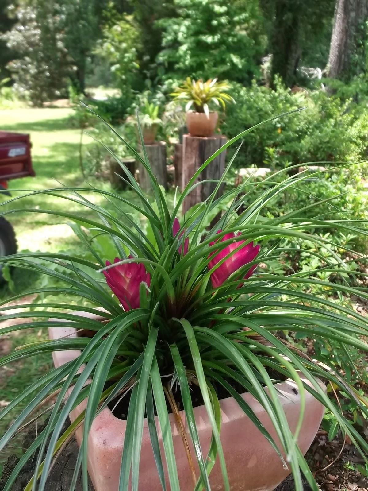 Tillandsia Cyanea Linden Ex K Koch: Dotty Plants Greenhouse Journal: You Can't Keep A Good