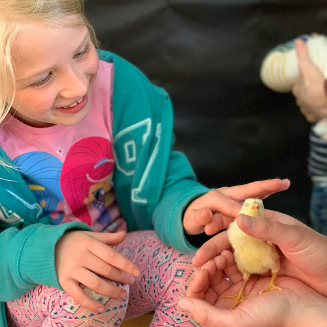 A child stroking a yellow chick at Marsh Farm