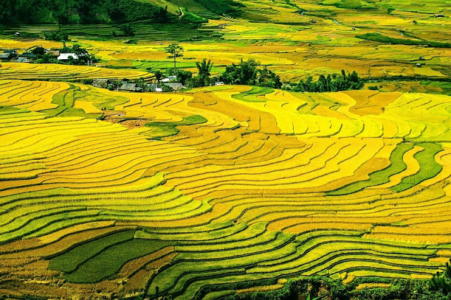Autumn - The Best Time To Watch Ripe Rice In Terraced Fields In Northern Vietnam