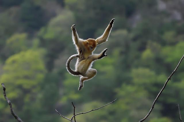 monyet terbang - catatanadi.com
