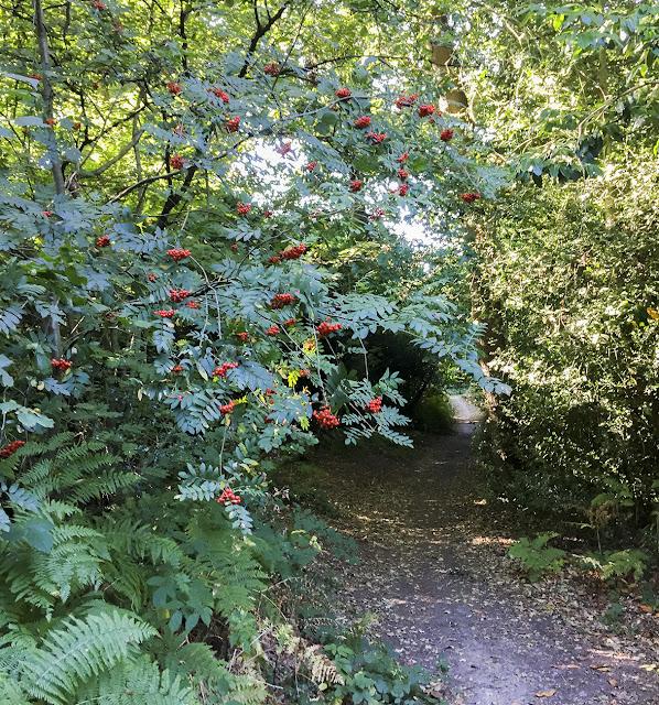 Rowan tree, Sorbus aucuparia.  Walk around the Hawkwood Estate 24, 30 August 2016.