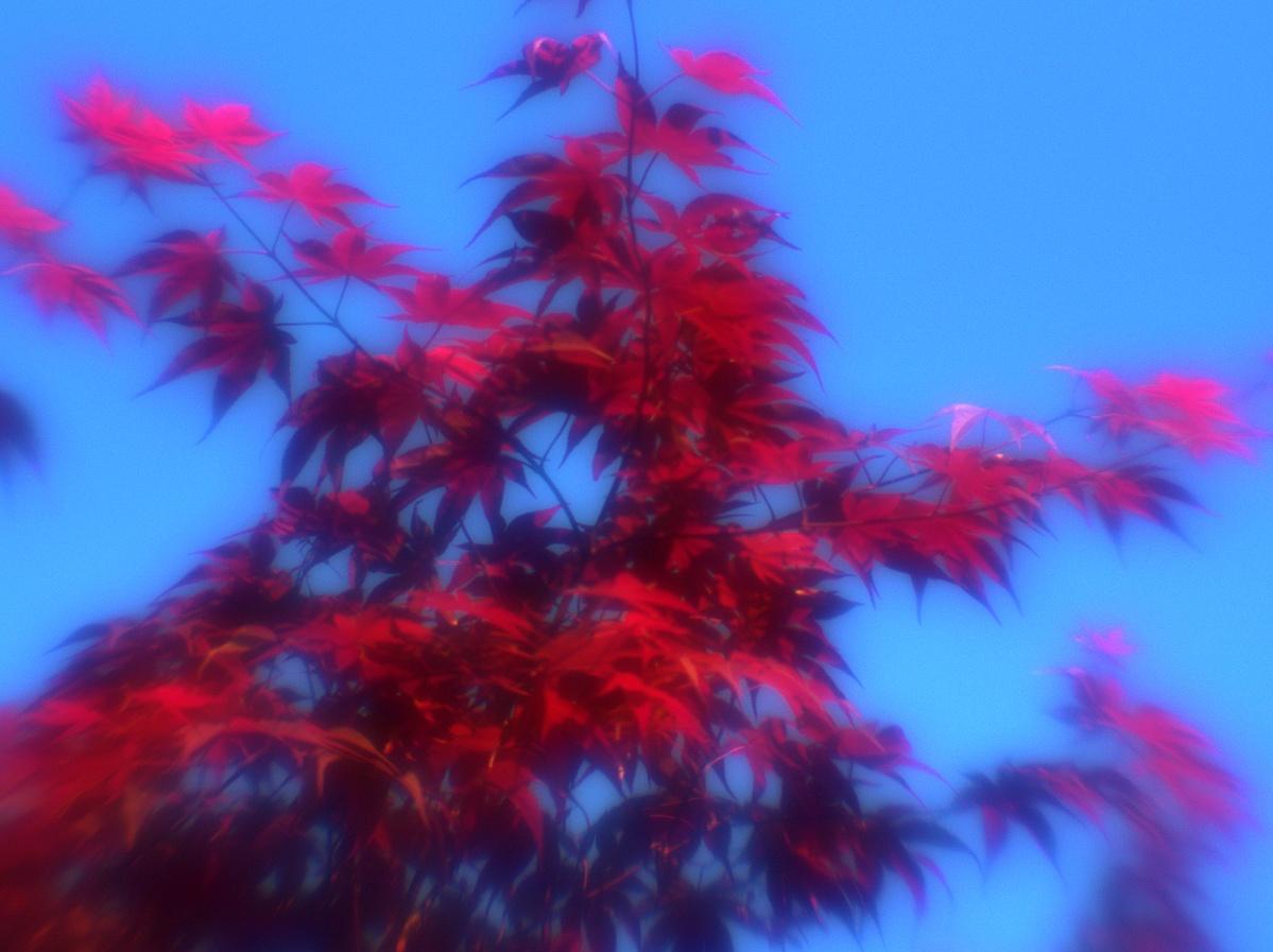 Roter Zierahorn vor blauem Himmel