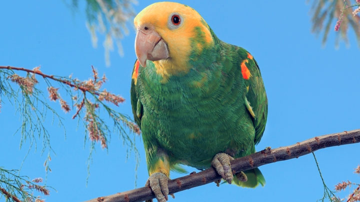 Double Yellowhead Amazon Parrot