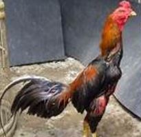 Foto Ayam Wido Cempaka Ayam Bangkok Suro Cempaka Kelebihan Dan Kelemahan Yang Dimiliki