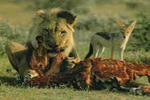 León comiendo su presa