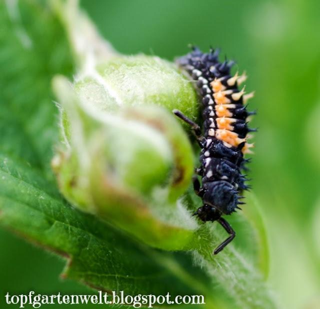 Marienkäfer Larve | Blattläuse natürlich bekämpfen - Gartenblog Topfgartenwelt