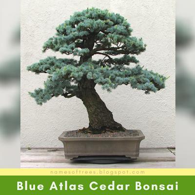 Blue Atlas Cedar Bonsai