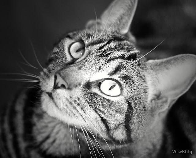 black and white photo of tabby cat gazing upwards