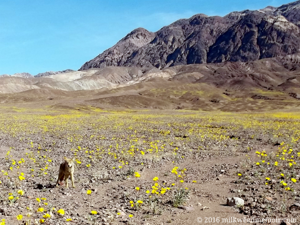 Golden coyote stands among a super bloom of flowers, mostly desert gold, with mountains in the background at Death Valley National Park, California