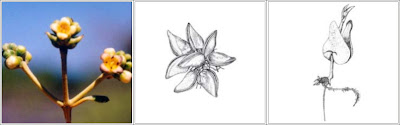Bunga Avicennia marina (Forsk.) Vierh