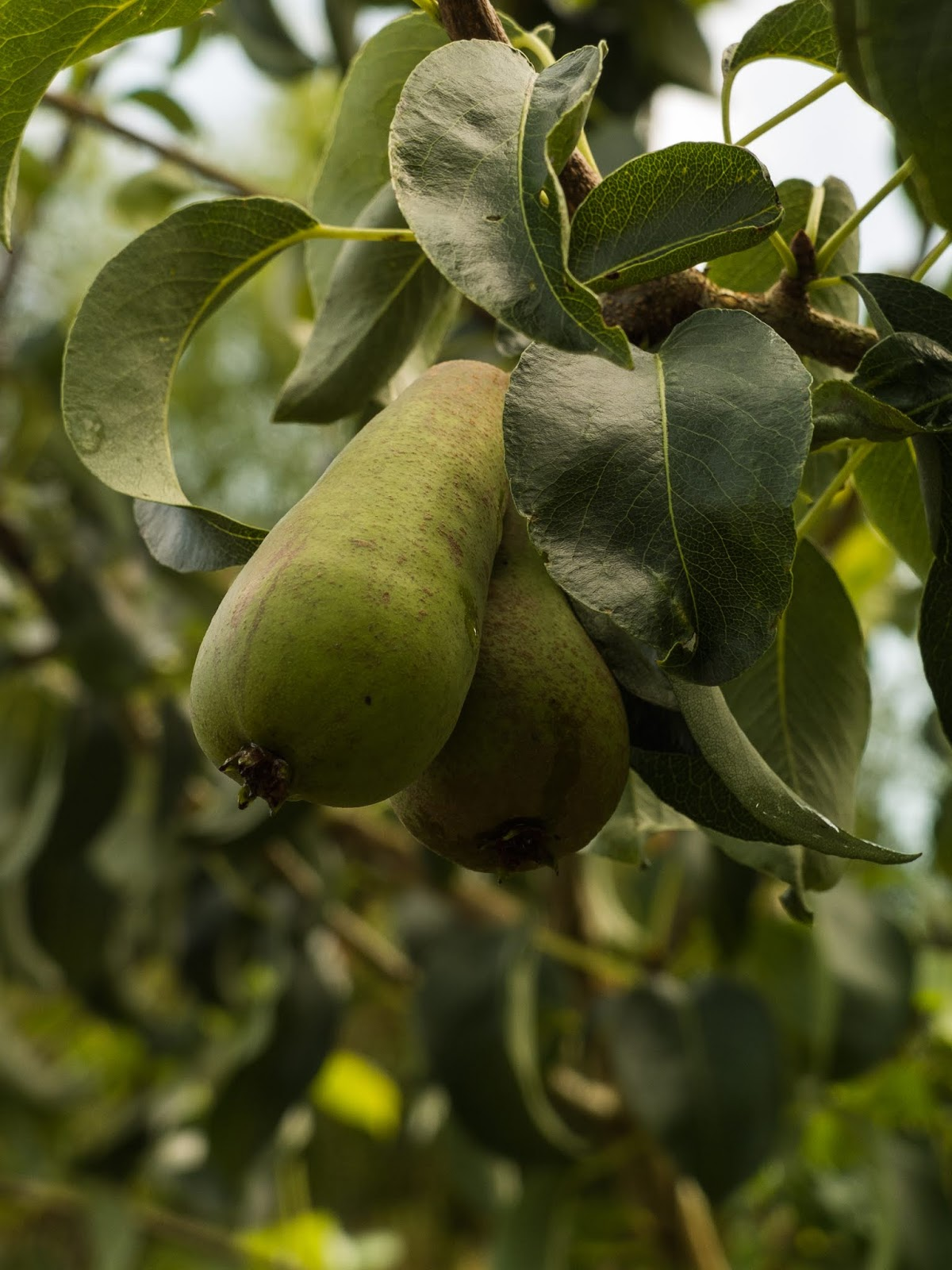 A close up of two pears growing on a tree.