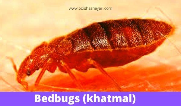 Bedbugs (Khatmal)