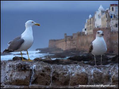 Mouettes à Essaouira