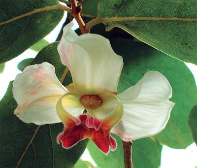 มหาพรหมราชินี ไม้ดอกหอมถิ่นเดียวของไทย ดอกใหญ่ สีสันสวยงาม ไม้มงคล