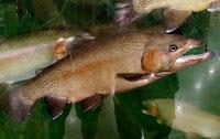 hook mouth brook rainbow trout Colorado Cabelas store