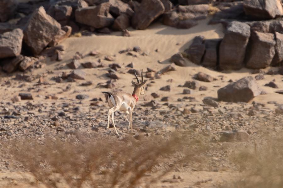 """Mountain Gazelle or """"Idmi"""""""