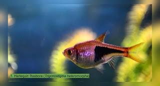Harga Ikan Rasbora Harlequin