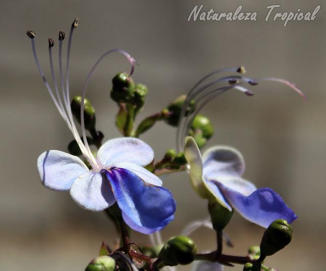 5- El arbusto Mariposa (Rotheca myricoides) está presente en muchos jardines del país e incluso sus semillas han sido dispersadas hacia la vegetación natural donde actualmente crece natural.