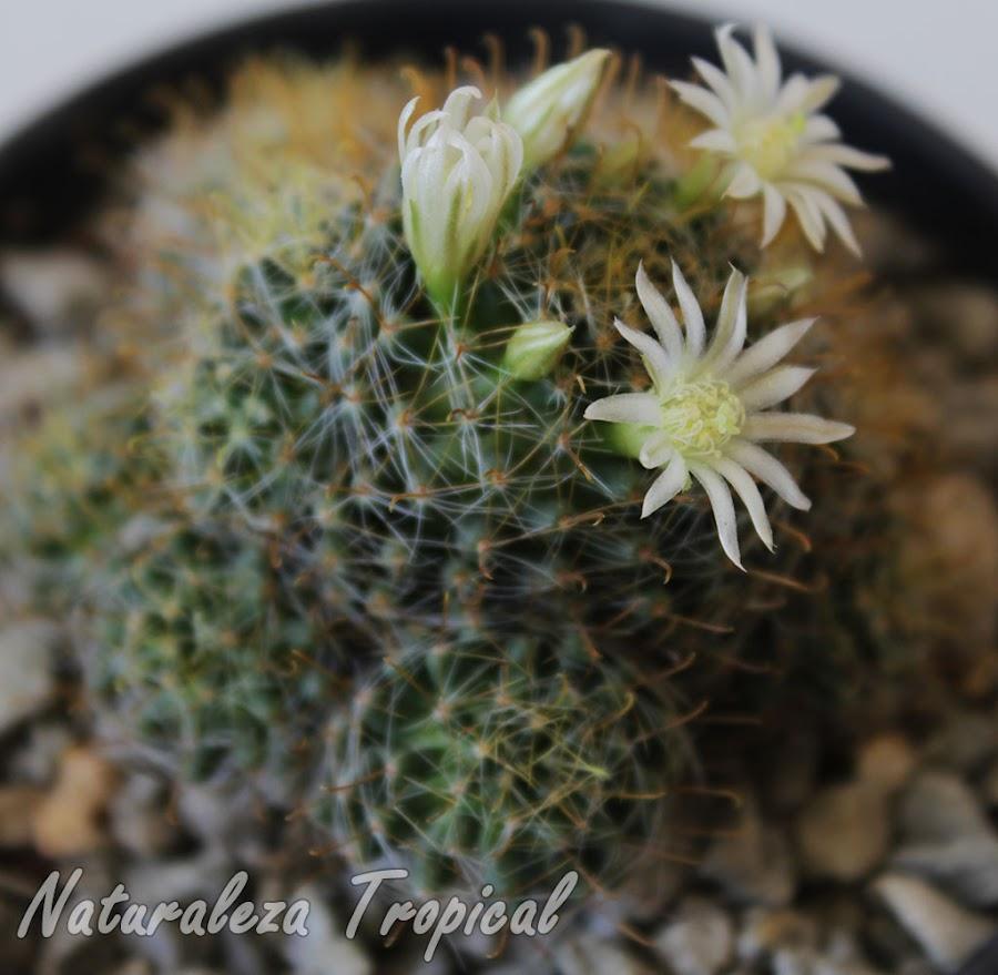 Otra imagen del cactus Mammillaria crinita ssp leucantha