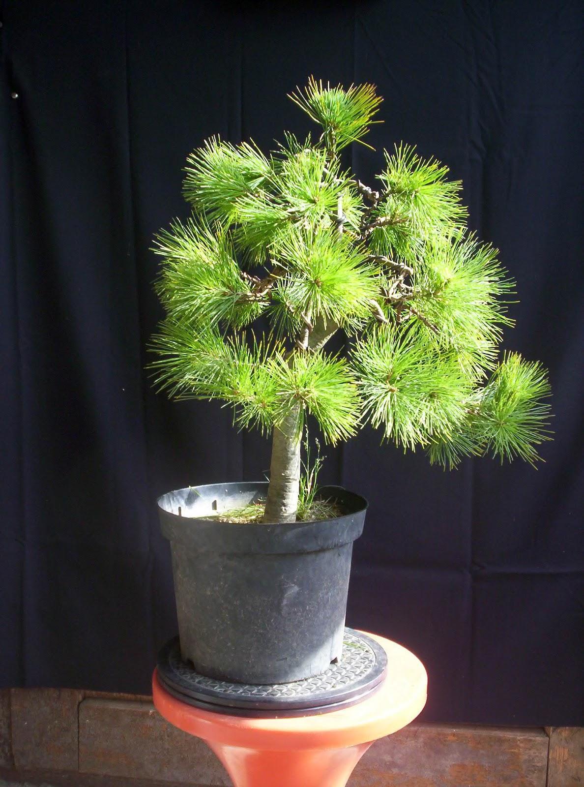 Bonsai Tree 19 Cozy Pinus Strobus Bonsai Pictures