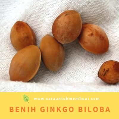 Benih Ginkgo Biloba