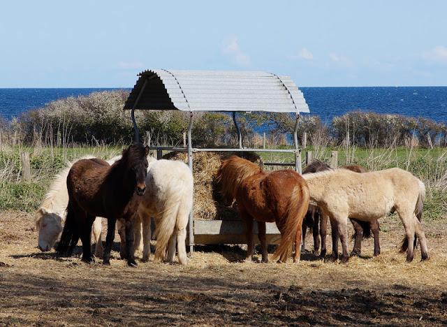 Küsten-Spaziergänge rund um Kiel, Teil 3: Raps, Steine und Meer bei Hohenfelde. Ponys in Hohenfelde - ein toller Anblick für alle Pferdefreunde.