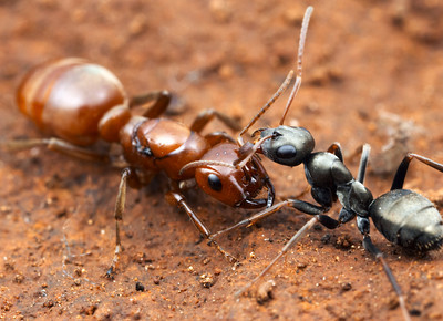 how to find and kill queen ant