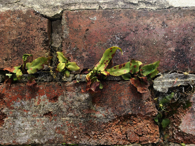 Scruffy hart's tongues ferns in wall. June 1st 2020.