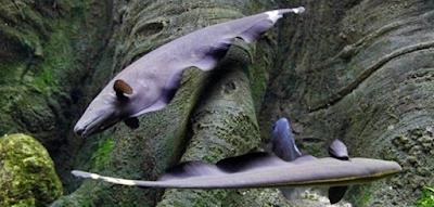 Perbedaan Ikan Black Ghost Jantan dan Betina