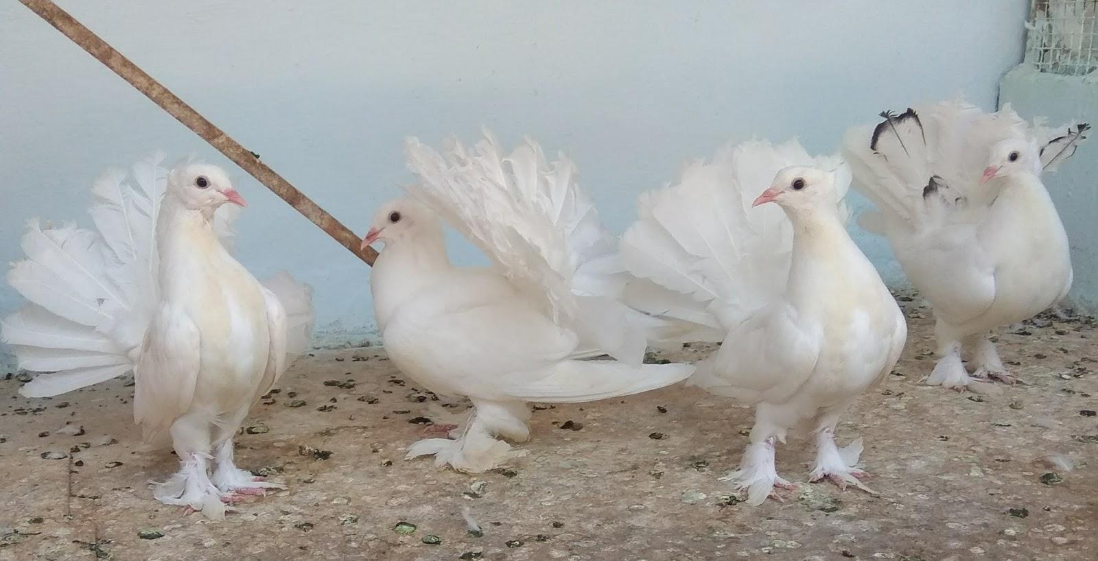 HYDERABAD BIRDS BREEDER: INDIAN FANTAILS AND BELGIUM